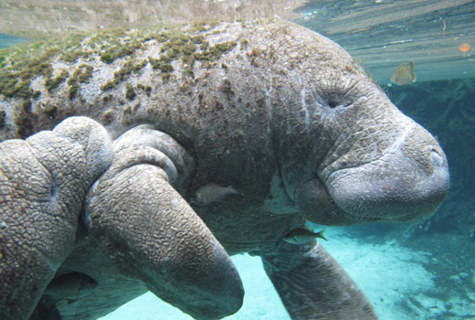 Manatees & Caribbean Conservation: The Threat of Low Genetic Diversity