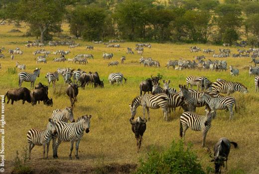 Saving Serengeti