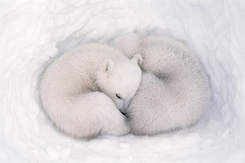 Jenny Ross |Polar bear cubs are born inside a snow den, and are tiny and helpless at birth. They remain sealed in the den with their mother for about three months, nursing and growing until they are strong enough to venture outside and accompany their mother when she resumes traveling and hunting on the sea ice.