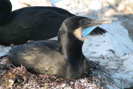 Naval Base Ventura County San Nicolas Island Seabird Restoration Project
