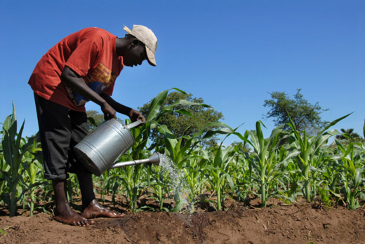 © iStockphoto.com/africa924 A farmer watering his field of sugar cane. The population of Malawi are mostly cultivated mainly sugar cane, a mainstay of the country.