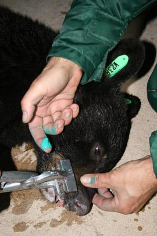 Photo by Kristal Walsh, Hurlburt Field, Fla. A cub is identified for future tracking.