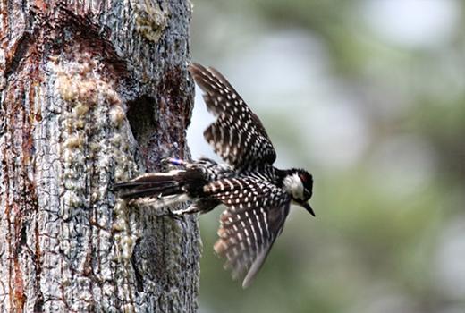 USMC's Camp Lejeune Red-Cockaded Woodpecker Recovery
