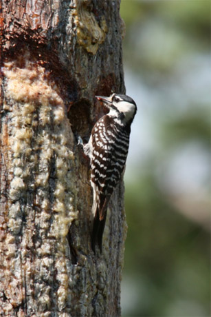 Photo by Kevin Rose   An adult female red-cockaded woodpecker.