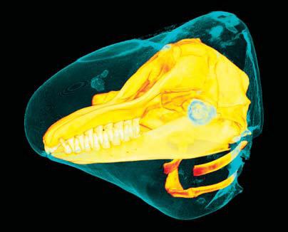 © Photograph: D. Ketten/WHOI|3D false killer whale.