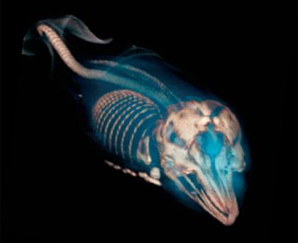 © Photograph: D. Ketten/WHOI|Dolphin fetus.
