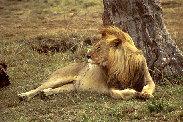 The African Lion: Dinner or Endangered?