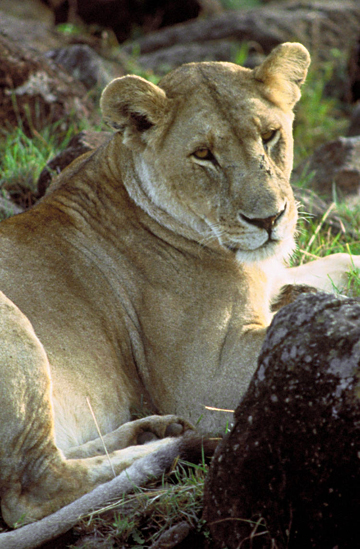 Image courtesy USFWS | African lioness.