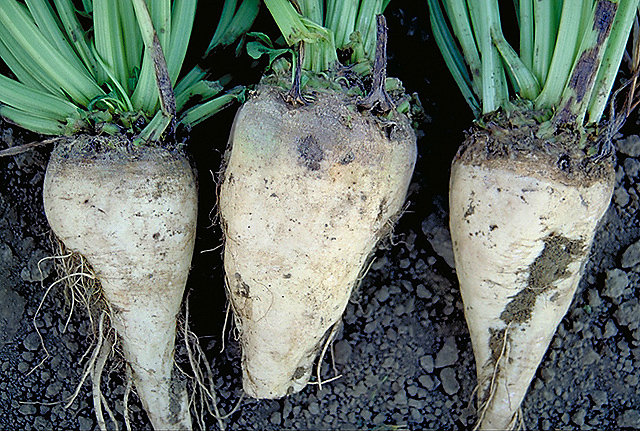 Image Courtesy USDA Agriculture Research Service | Sugar beets.
